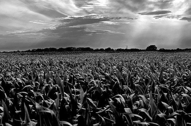 A dark cornfield