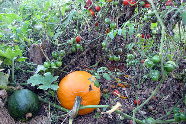 Squash in the tomatoes