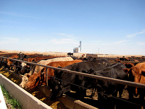 Cows in a feedlot