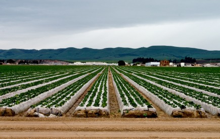 industrial field of spinach