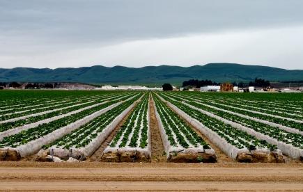spinach field