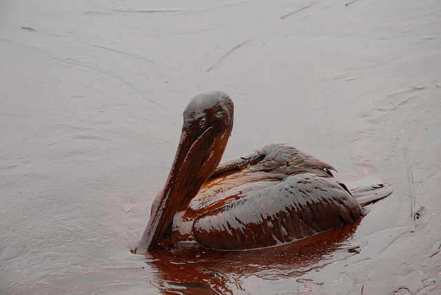 An oil-covered pelican in La. after the BP Gulf oil spill.