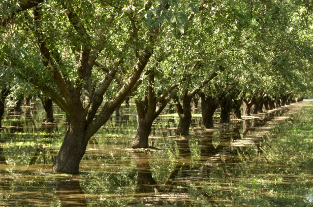 Almond trees and irrigation water