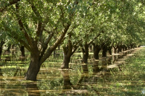 Image (1) almond-trees-water-irrigation.jpg for post 42369