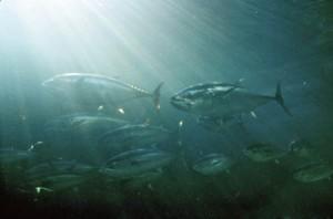 school of bluefin