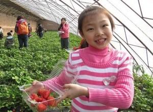 Chinese girl picking strawberries
