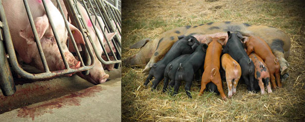 Gestation crates and free-range pigs