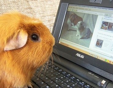 Guinea pig looking for love on a laptop