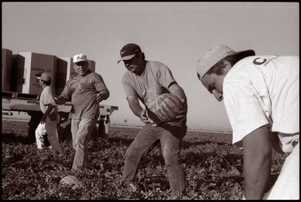Farmworkers pitching melons
