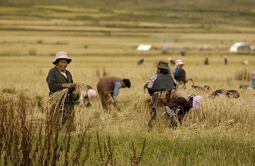 China wheat farming