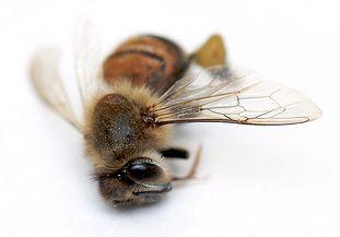 Dead bee.