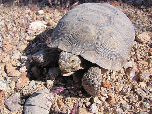 Endangered desert tortoise; via flickr: Fool-On-a-Hill