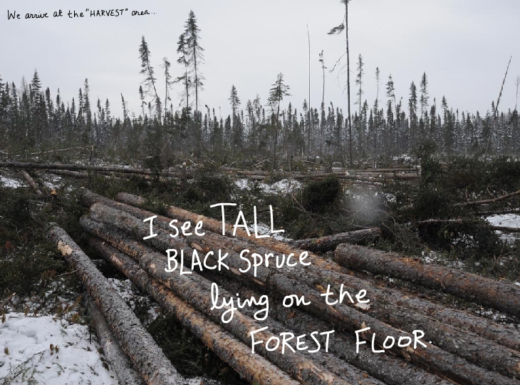 We arrive at the harvest area. I see tall black spruce lying on the forest floor.