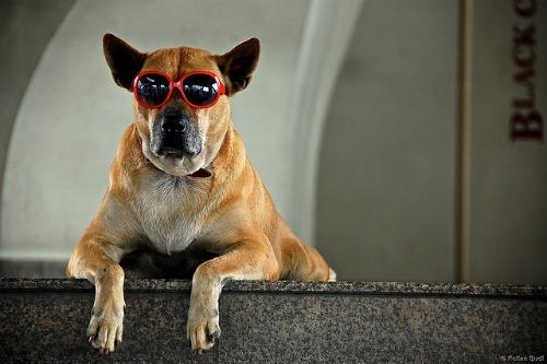 Dog with sunglasses.