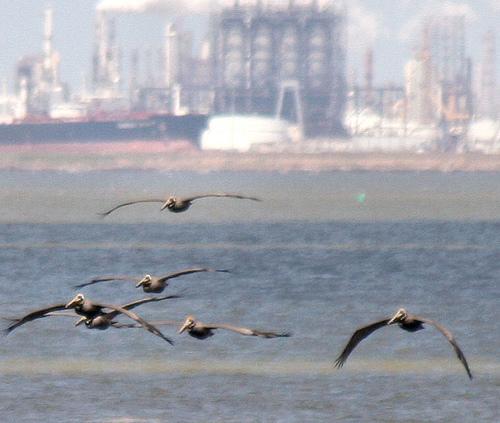 Pelicans outside an oil refinery.