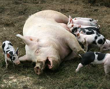 Sow with piglets.