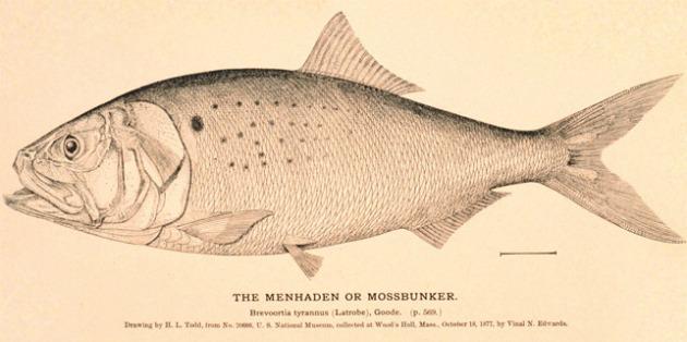 Menhaden fish.