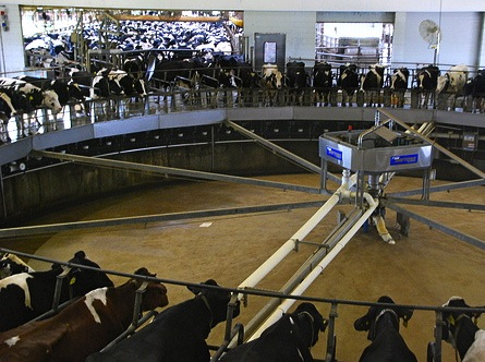 giant milking machine