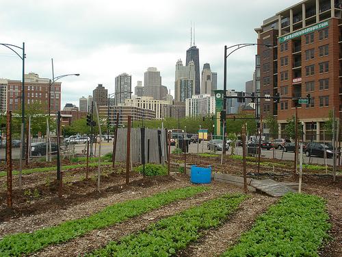 Chicago urban farm.