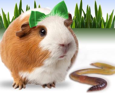 Greenie Pig.