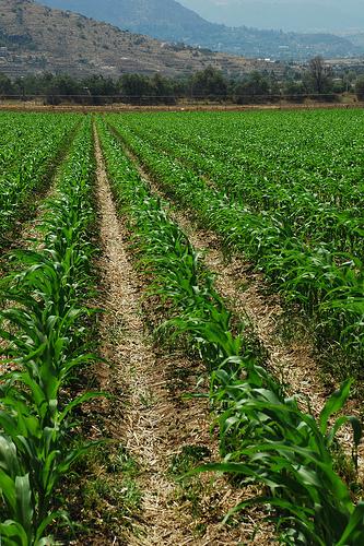 corn on wheat residue