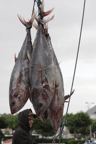The Atlantic bluefin tuna.