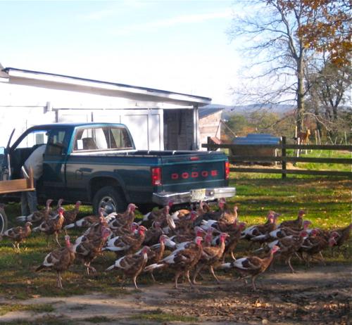 turkeys_yard
