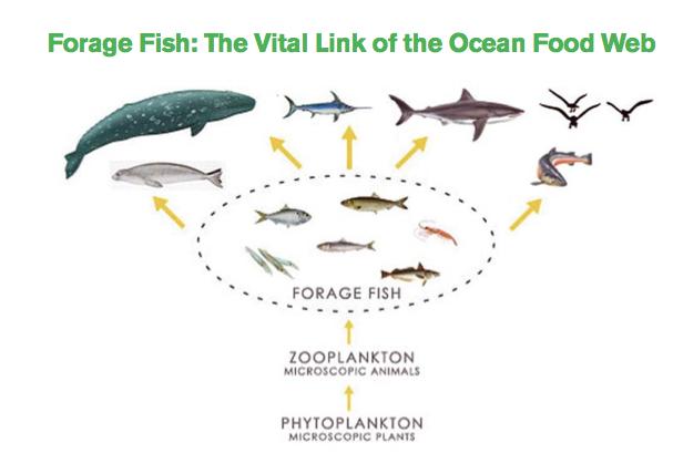 forage_fish