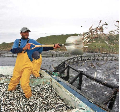 tuna fed sardines