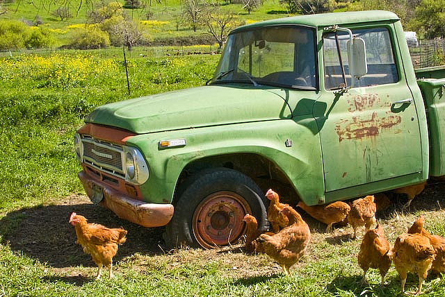 chickens and old truck