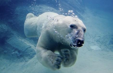 Image (1) polar_bear_swimming_550.jpg for post 50035
