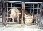 """Temple Grandin has said raising pigs in gestation crates is like """"living in an airplane seat."""""""