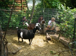 Flying the coop: The scrambled world of backyard poultry ...
