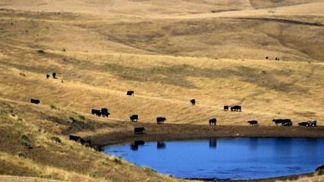 cattle-grazing-climate-desk