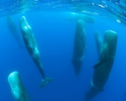 Sperm whales in happier times.