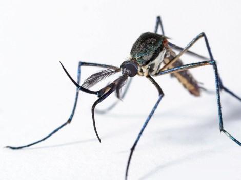 monster mosquito