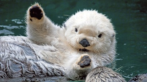otters 05