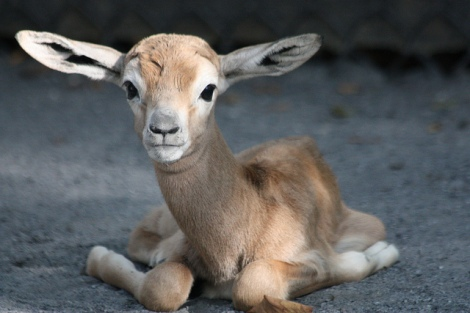 Just look at this baby gazelle bouncing around. JUST LOOK AT IT ...