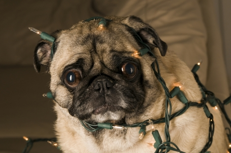 pug-dog-christmas-lights