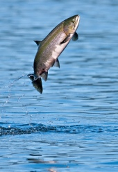 Run, little salmon, the monsters are coming!
