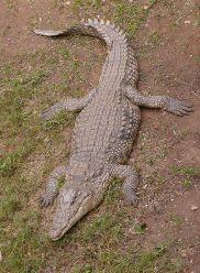 I am one bad-ass croc.