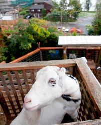 City Goats_46