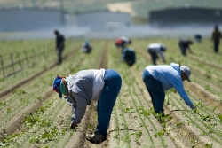 Farmworkers weeding in the field by hand, San Joaquin Valley, California.