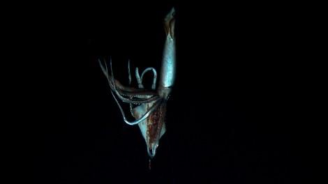 Still image taken from video shows a giant squid near Ogasawara islands