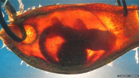 shark embryo