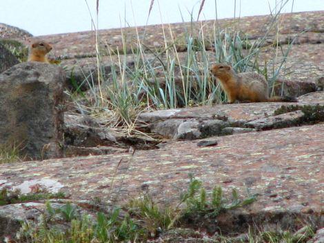 Arctic_ground_squirrels,_Nunavut