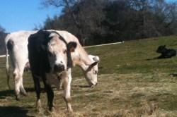 Happy cows on the Gates farm.