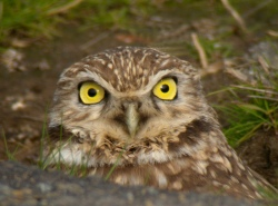 This adorable burrowing owl could be killed by agricultural pesticide