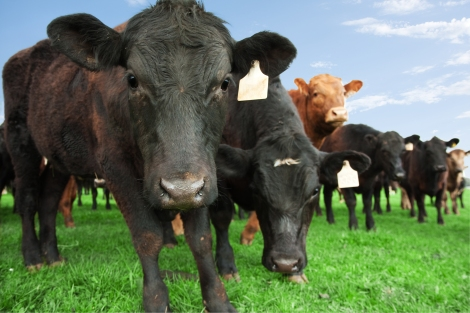 cows grazing beef