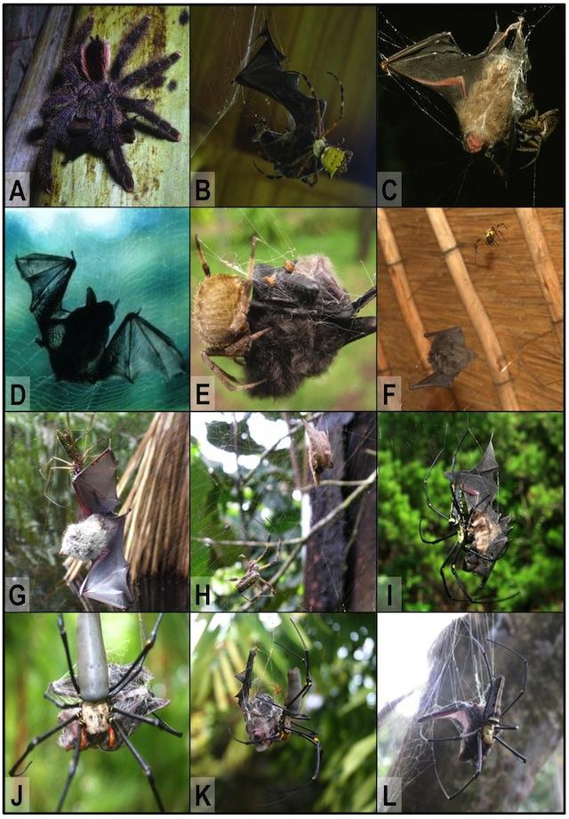 bat-eating-spiders